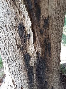 Lower trunk of maple showing bleeding canker symptoms caused by a Phytophthora species.