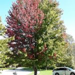 Maple tree showing early fall color due to trunk damage and Phytophthora trunk canker.