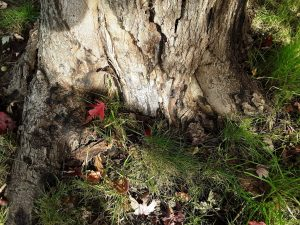 Physical injury at the base of this maple allowed entry of wood decay fungi, contributing further to decline caused by Phytophthora trunk canker.