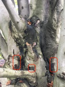 Phytophthora bleeding canker symptoms at the base of a European beech tree. The areas circled in red at the leading edge of the canker are good targets for collecting bark samples to send to a diagnostic lab for testing.