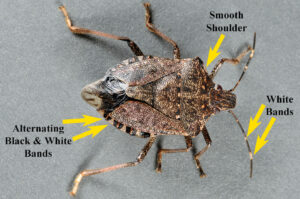 Brown marmorated stink bug.