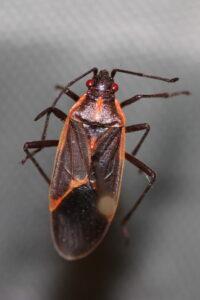 Boxelder bug.
