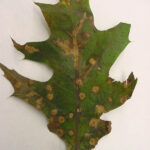 Typical Tubakia leaf spot symptoms illustrating how the fungus spreads along leaf veins.