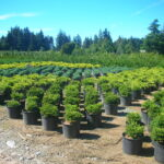 Conifer nursery with well spaced plants.