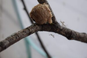 A round, pale brown object with a roughly textured surface. It is sitting on a branch.