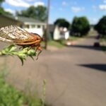 A cicada with a dark body, red eyes, and red lined wings sitting on a twig and looking out at a street with houses on it.