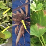 a. Ivy with Xanthomonas leaf spot, which caused black, angular lesion; b. Phaleanopsis orchids can become victim to soft rots, particularly if water is left standing in the crown of the plant; c. dahlia infected by Rhodococcus and proliferating stems; d. Xanthomonas blight on geranium.