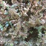 A close up for boxwood twigs. Many of the leaves are dead and messy webs tightly cover the twigs.