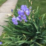 FIris leaf spot usually appears on susceptible bearded iris at the time of flowering.