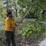 Proper pruning during the summer is a good way to improve aesthetics and stability during stormy weather.
