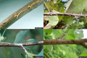 Four images of twigs. The first shows a twig with puncture wounds connected by cracks in the bark. The second shows a side view of a twig with splinters connected to the puncture wounds. The third shows long cracks in the bark of a twig. The fourth shows a twig with puncture wounds in a straight line.