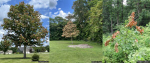 Three photos of trees with clumps of dead leaves. All of the trees have some patches of dead leaves in the outer canopy but the inner canopy is healthy. The first image shows a tree with a moderate number of dead leaves. The second shows a dense outer layer of dead leaves. The third image shows a young tree with a few patches of dead leaves.