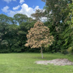 A tree in a field with dead leaves on the outside but green leaves in the inner canopy.