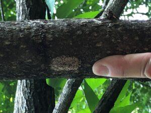 Figure 3. Egg mass of SLF on branch of tree of heaven in Vevay, IN. Photo Taken by Angela Rust (DEPP).