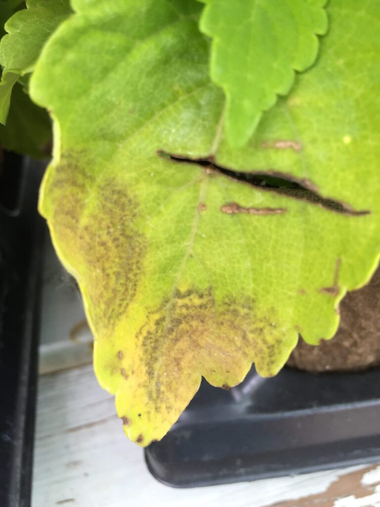 4. A) Downy mildew lesions showing concentric rings, a symptom often associated with virus disease