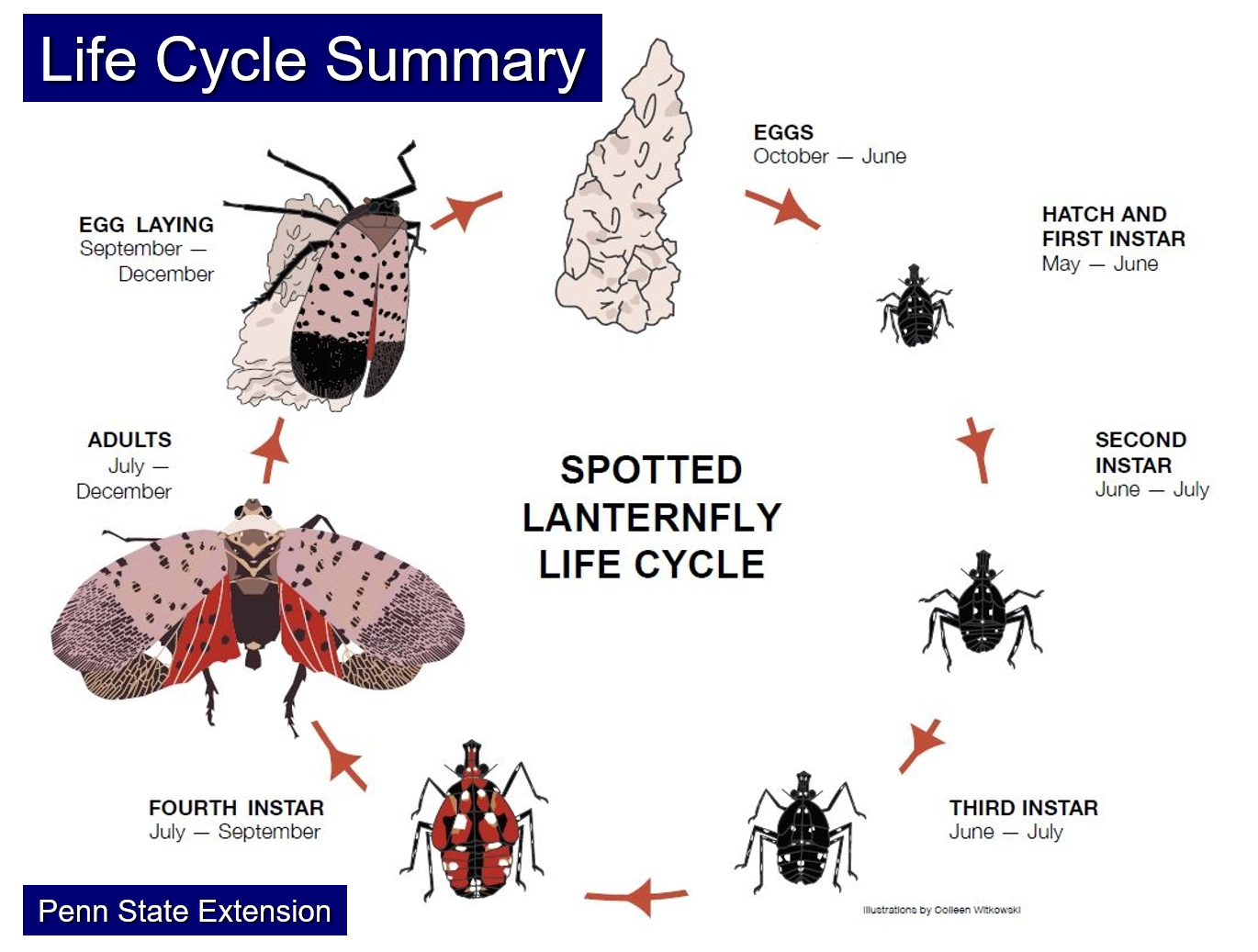 Figure 5. Life cycle of Spotted Lanternfly from Penn State Extension Source: Penn State Extension
