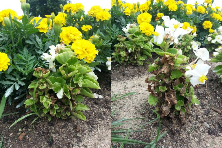 Figure 4: Begonia infected with Rhizoctonia, causing leaf blighting and some defoliation.