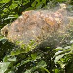 Late summer webworms can be hard to manage.