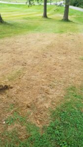 A stand of turfgrass damaged by fall armyworm larvae at the end of August in West Lafayette, IN