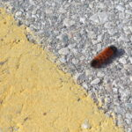 A woolly bear caterpillar on pavement. It is near a yellow line of road paint. Image by Sue Thompson.
