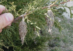 Bagworm on Juniper Tree