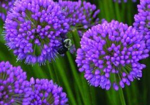 Allium 'Millenium' with masses of rose-purple blooms.